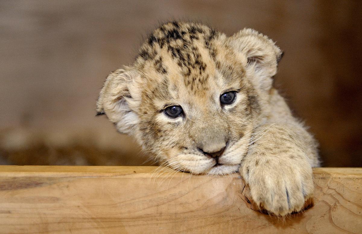 ВПермский зоопарк приехал трехмесячный лев