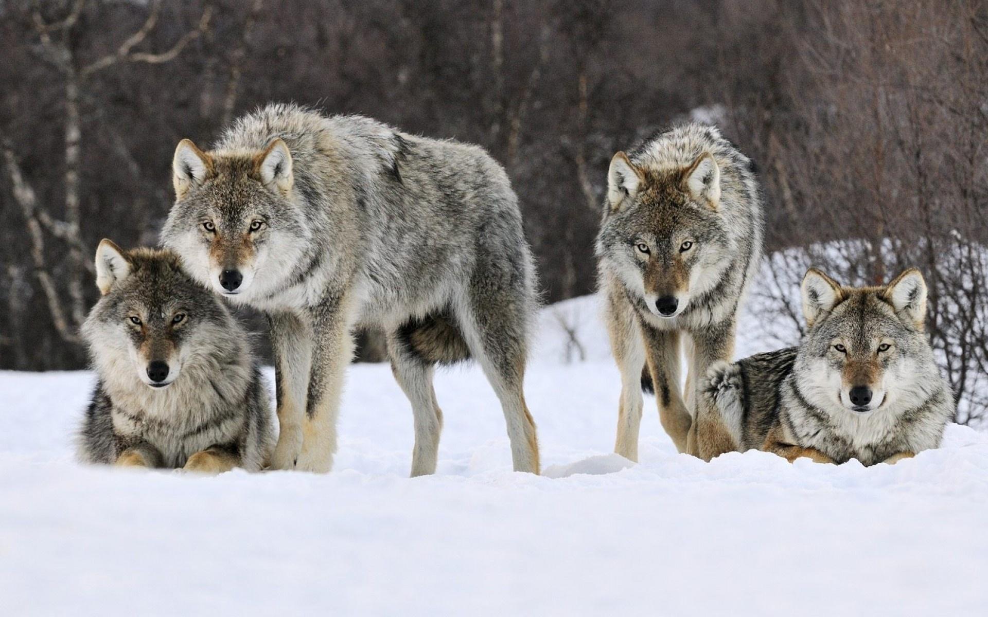 мвд подсчитали, волки цветное фото запах исчезнет после